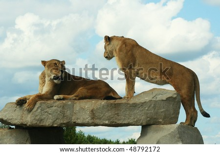 a pair of african lionesses