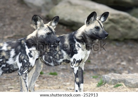 A pair of african wild dogs looking at prey - stock photo