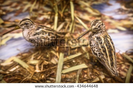 A pair of antique stuffed woodcock birds in a display. - stock photo