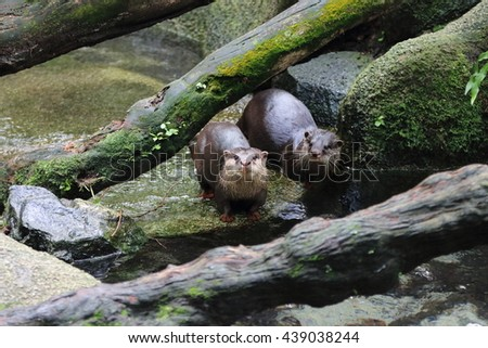 A pair of Asia small clawed otters at a small water stream - stock photo