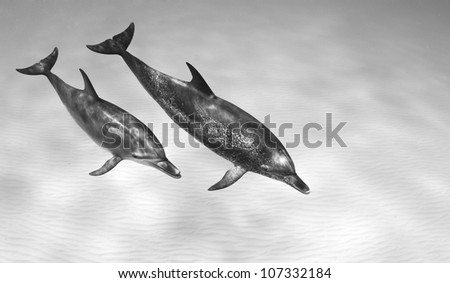 A pair of Atlantic Spotted Dolphins (Stenella frontalisllis) swim together in black and white - stock photo