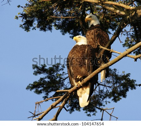 A pair of bald eagle - stock photo