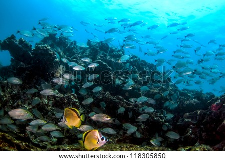 A pair of barber fish swimming among latin grunts at Pacheca in the Pearl Islands Panama - stock photo