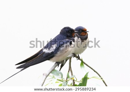 A pair of barn swallows perched on a twig, isolated on white