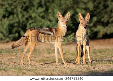 A pair of black-backed jackals (Canis mesomelas), Kalahari desert, South Africa  - stock photo