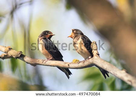 a pair of black barn swallows sitting on a branch in spring