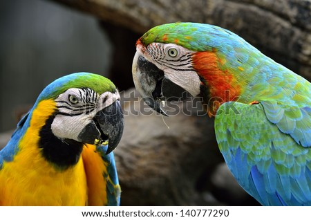A pair of Blue-and-yellow and Hariquin Macaw facing each other with lovely action, macaw bird - stock photo