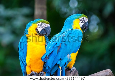 A pair of blue-and-yellow macaws (ara ararauna) perched in the jungle.