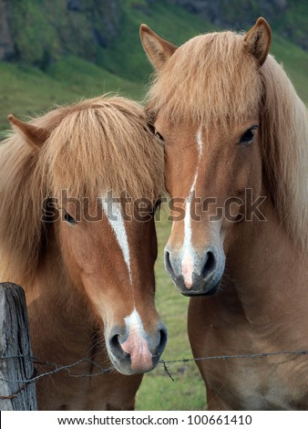 A pair of brown horses - stock photo