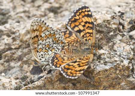 A pair of butterflies copulating with their bodies united.