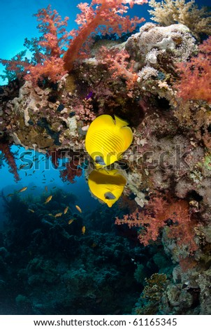 A pair of Butterfly fish amongst brightly coloured soft corals. - stock photo