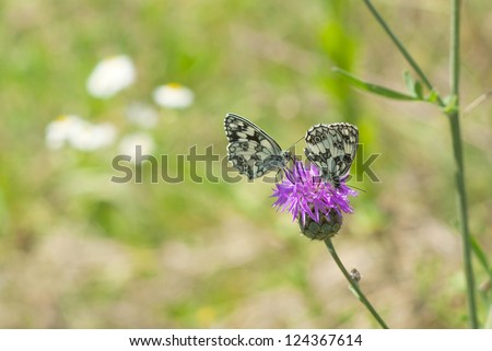 a pair of butterfly on milk thistle