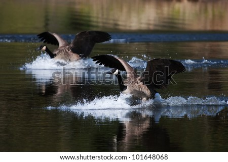 A pair of Canadian geese landing on water. - stock photo