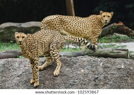 A pair of cheetahs frozen with attention maintaing eye contact