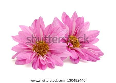 A pair of chrysanthemum flowers - stock photo