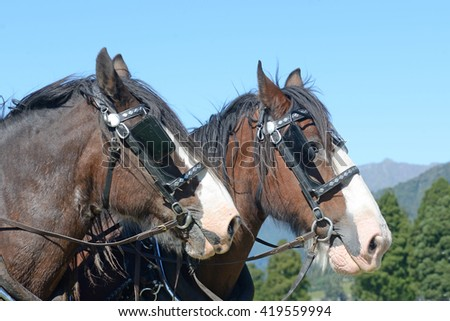 A pair of Clydesdales horses harnessed and ready for work