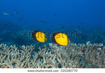 A pair of colourful yellow Melon Butterflyfish (Chaetodon trifasciatus ) tropical fish found on a coral reef on Daymaniyat Islands in Oman against a blue sea background - stock photo