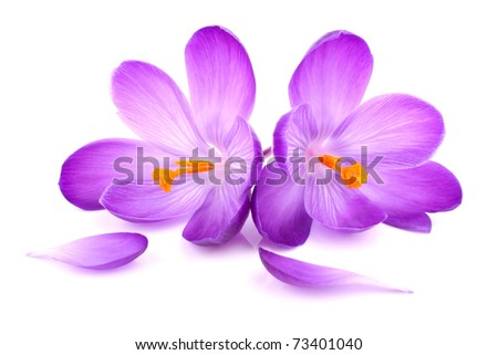a pair of crocus flowers on isolated white background