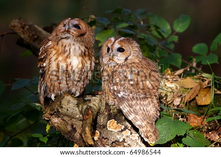 A pair of curious tawny owl's in a wood - stock photo