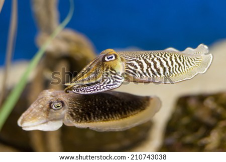 A Pair of Cuttlefish. - stock photo