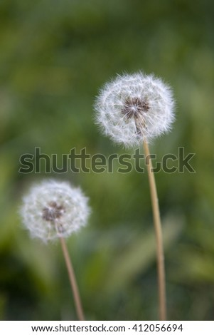 A pair of dandelions against of background of green grass. - stock photo