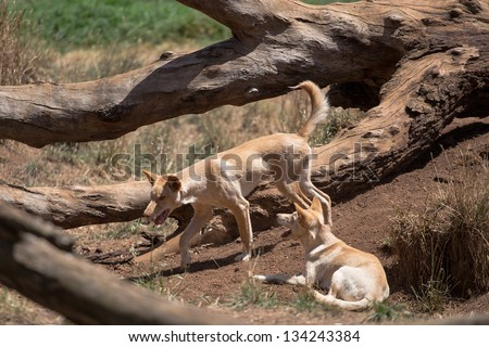 A pair of Dingo dogs in the outback - stock photo