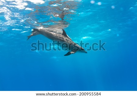 a pair of dolphins playing in sunrays underwater - stock photo