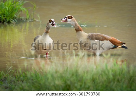 a pair of Egyptian geese play in the lake - stock photo