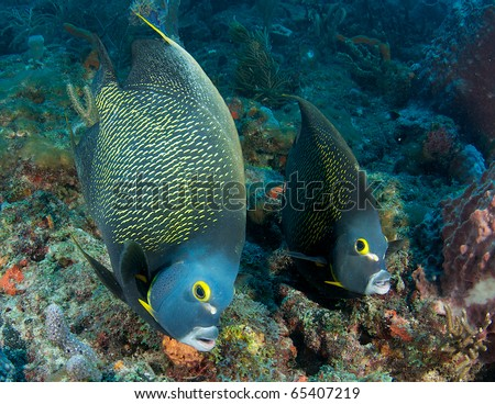 A pair of French Angelfish swimming over a reef in Palm Beach County Florida. - stock photo