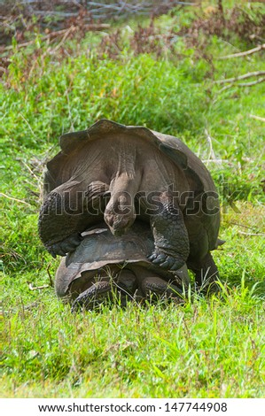 A pair of giant tortoises in the act of mating. This can take a long time to complete. - stock photo