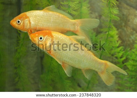 a pair of golden fish in the aquarium - stock photo
