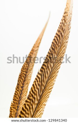 A pair of golden pheasant feathers close up - stock photo
