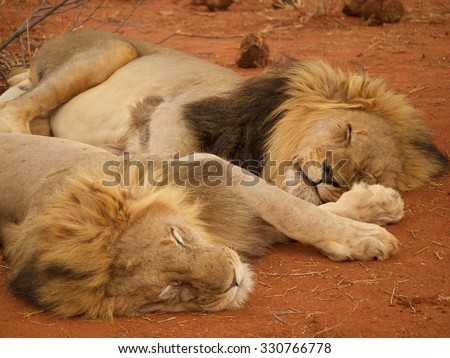 A pair of heavily maned male lions relax after last nights dinner in the Madikwe Game Reserve, South Africa. - stock photo