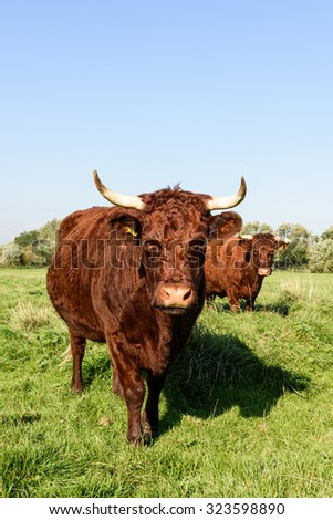 A pair of horned pedigree Devon Red (Ruby) cows highlighted in the early morning sun. - stock photo