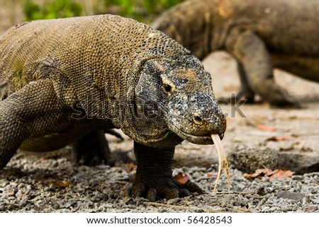 A pair of Komodo dragons wander in search of food on Komodo island. - stock photo