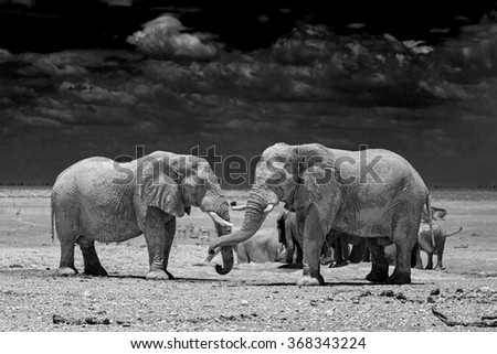 A pair of large elephants enjoying a playful moment after having had a drink from the waterhole.   - stock photo