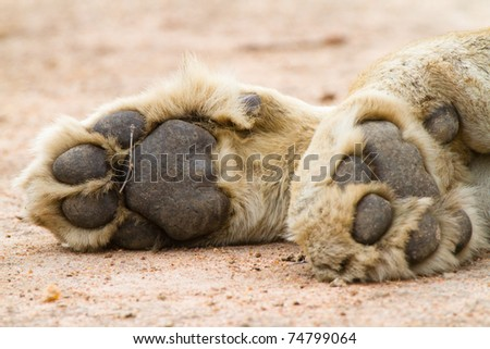 A pair of lion paws - stock photo
