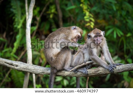 A pair of macaques grooming in the jungles of Borneo along the Kinabatangan River.