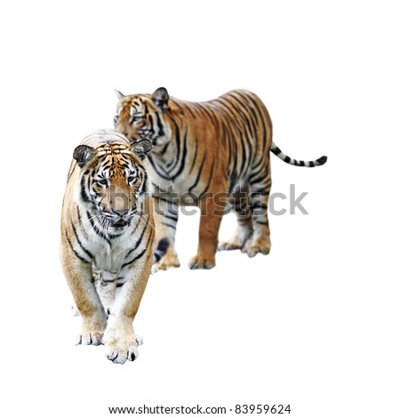 A pair of Malayan Tiger isolated against white. This tiger is scientifically known as Panthera Tigris Jacksoni.