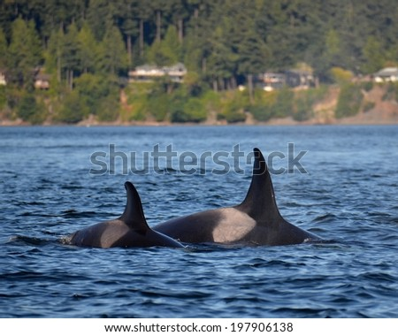 A pair of marine mammal eating transient killer whales surface together in the San Juan Islands, Washington. - stock photo