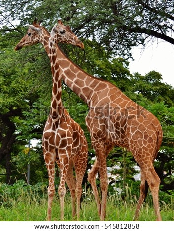 A pair of Masai Giraffe (Giraffa camelopardalis tippelskirchi) in a forest/jungle.