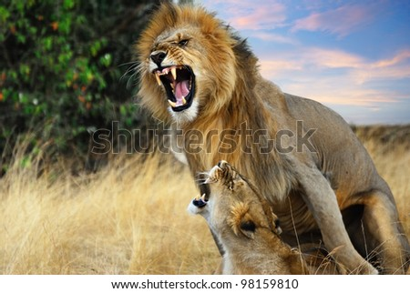 A pair of mating lions in the evening savannah, Masai Mara, Kenya - stock photo