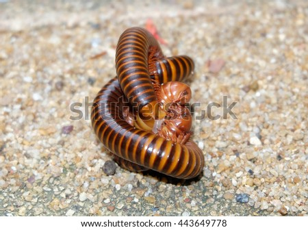 A Pair of Millipedes mating on the rock. Mating of red millipedes, thailand