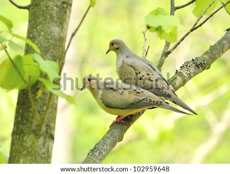 A pair of mourning doves perched on a tree branch. - stock photo