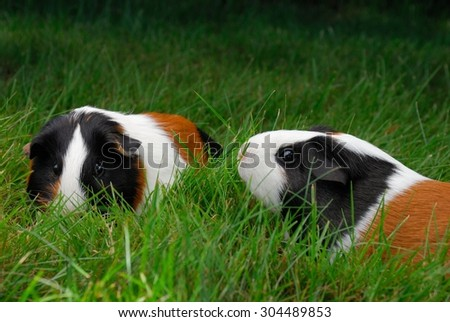 A pair of Multi-color tricolor guinea pig pets munching on / eating grass outside