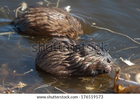 A pair of muskrats forages for food at Oak Hammock Marsh, Manitoba.