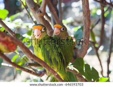 A pair of orange fronted parakeet friends sitting together on a branch
