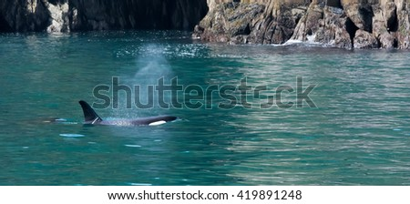 A pair of orca cruise the coast line looking for dinner - stock photo