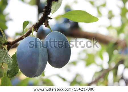 a pair of plums on a branch