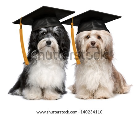 A pair of proud graduation havanese dogs with cap isolated on white background - stock photo